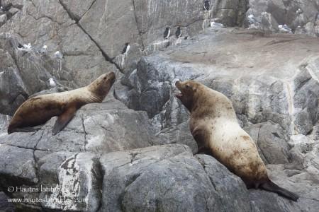 Lions de mer de Steller
