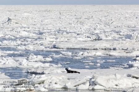 Banquise et phoque à rubans en mer d'Okhotsk