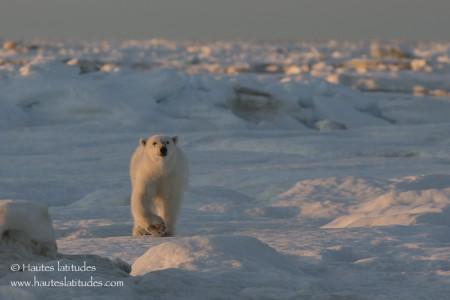 Ours polaire sur la banquise en Tchoukotka